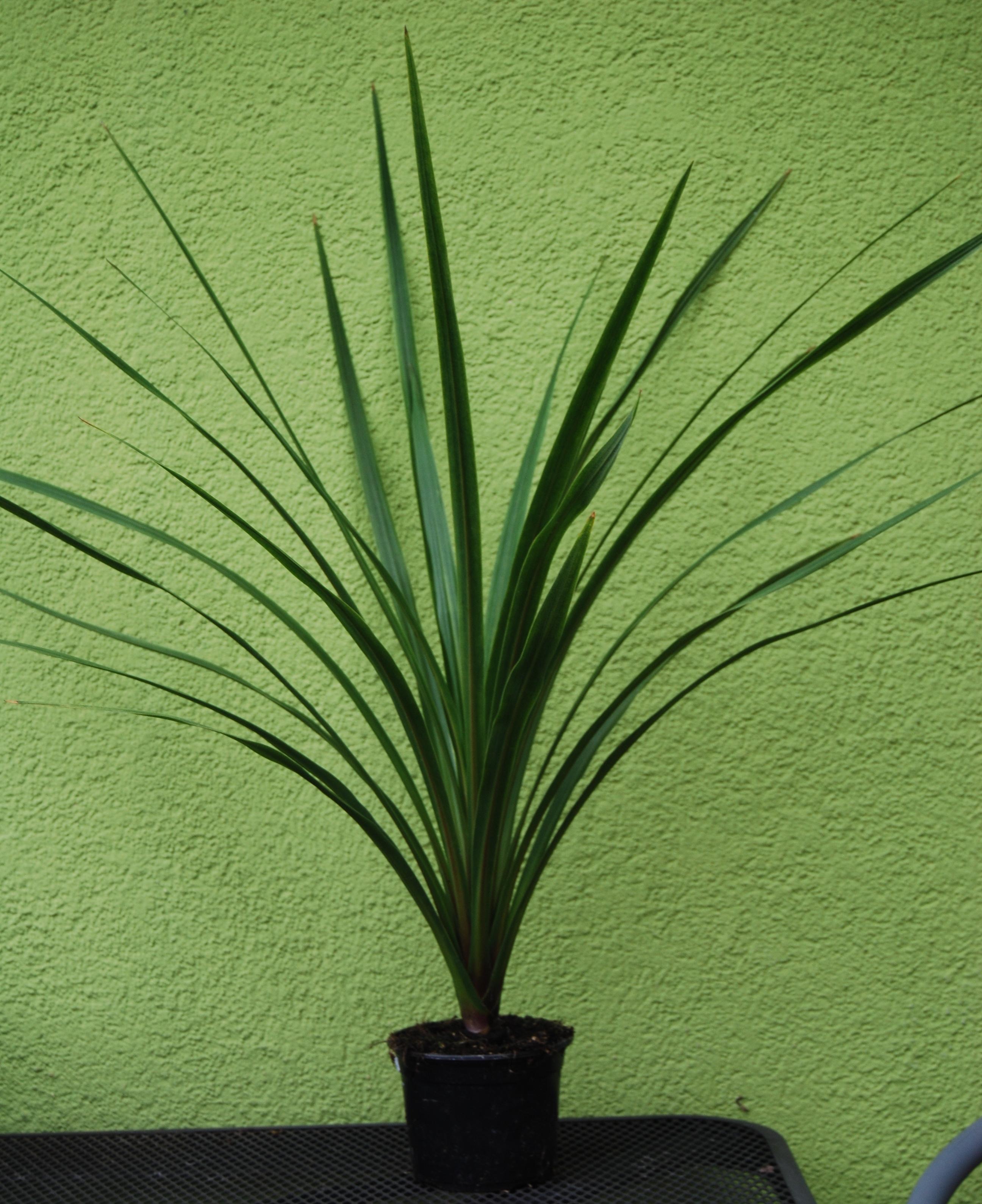 Cordylina 60 Cm