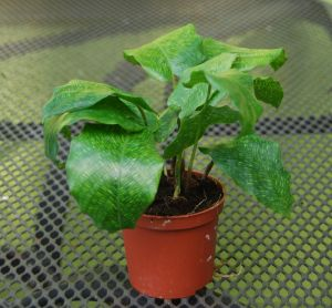 CALATHEA NETWORK MINI