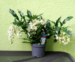 CLERODENDRON PRO SPERO