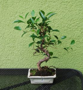FIKUS RETUSA BONSAI NR 2