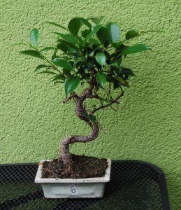 FIKUS RETUSA BONSAI NR 6